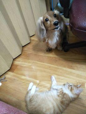 臘腸狗與貓