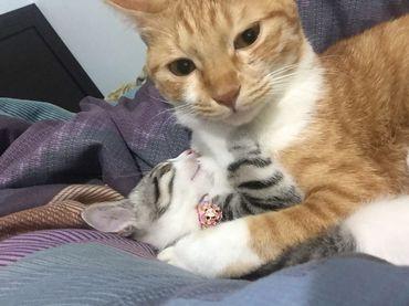 貓尿道結石怎麼辦