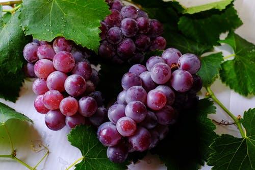 貓不能吃葡萄或葡萄乾