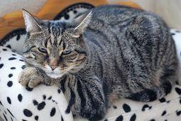 過胖成貓一日所需熱量