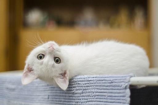 糖尿病貓結論