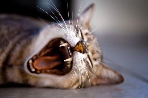 貓糖尿病的飲食