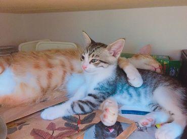 貓胰臟炎飲食照護