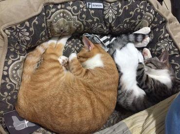 貓結紥後會變胖嗎