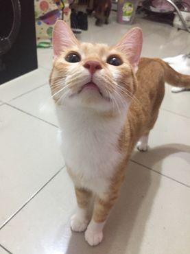 貓慢性胰臟炎