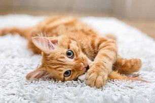 貓咪胰臟癌