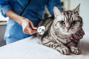貓胰臟炎治療