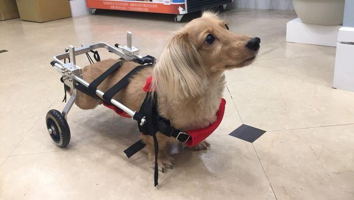 狗椎間盤突出-癱瘓治療過程分享|如果時間可以重來我會怎麼做?