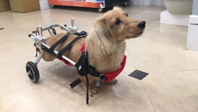 狗癱瘓輪椅