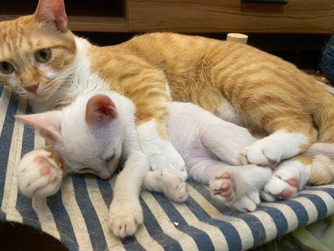 貓咪粉刺怎麼辦