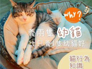 【貓行為知識】為何養兩隻幼貓會比只養一隻幼貓好?